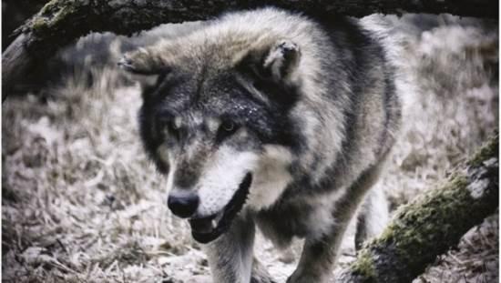 Le ministre Hulot fait abattre deux loups